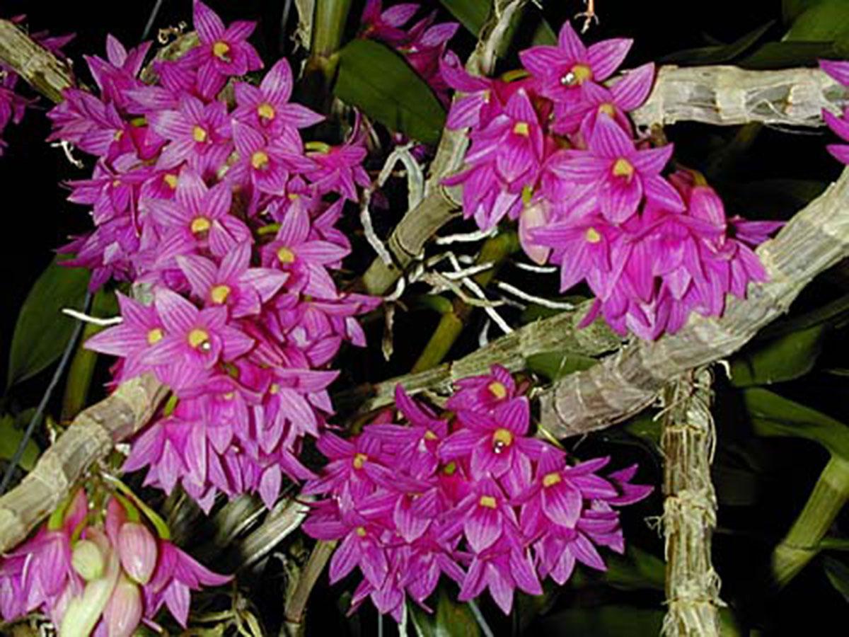 Resultado de imagem para Dendrobium goldschmidtianum